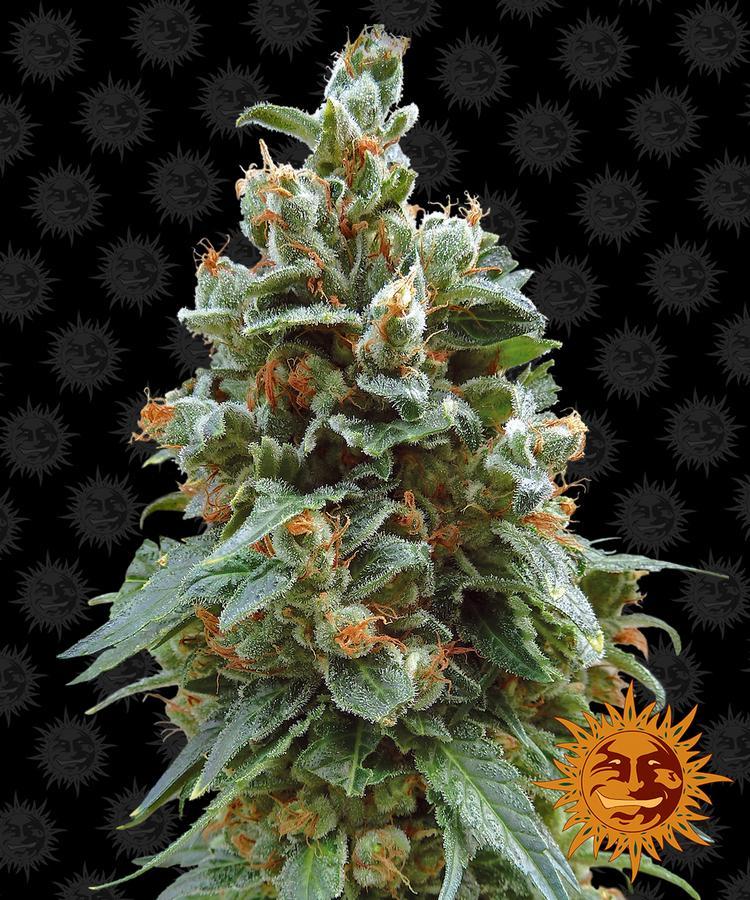 Самый быстрый сорт конопли купить марихуану по закладке спб