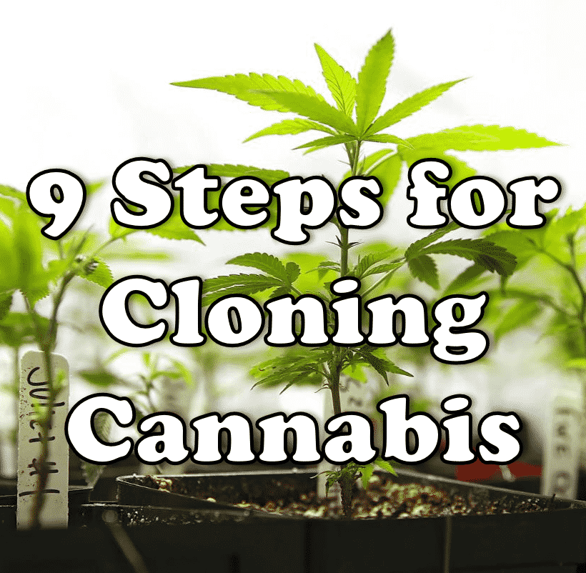 9 Steps for Cloning Cannabis
